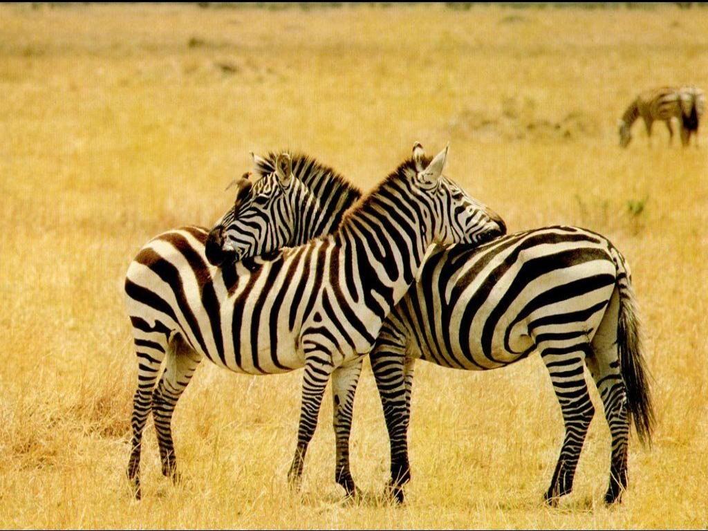Zebra6501